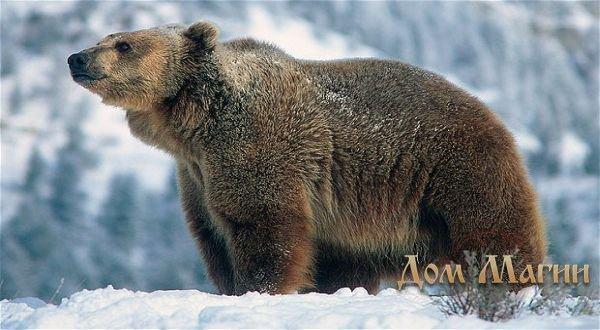 Сонник медведь к чему снится медведь во сне