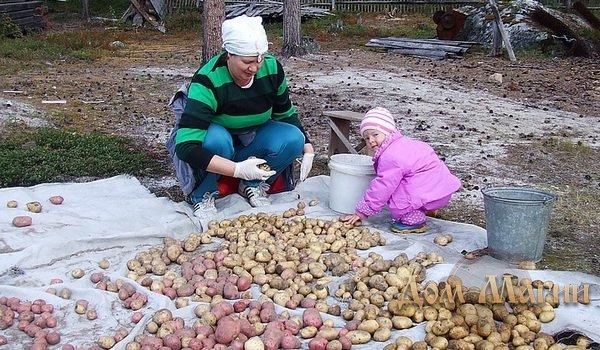 Собирать картофель