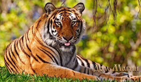 К чему снится тигр? Сонник – тигр во сне символизирует силу и мудрость.