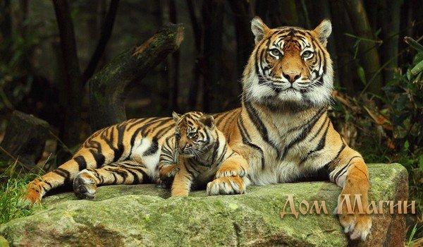 Сонник Ванги - тигр