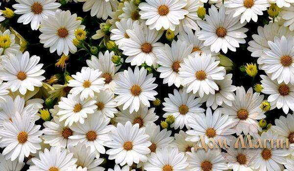 Белые цветы снятся