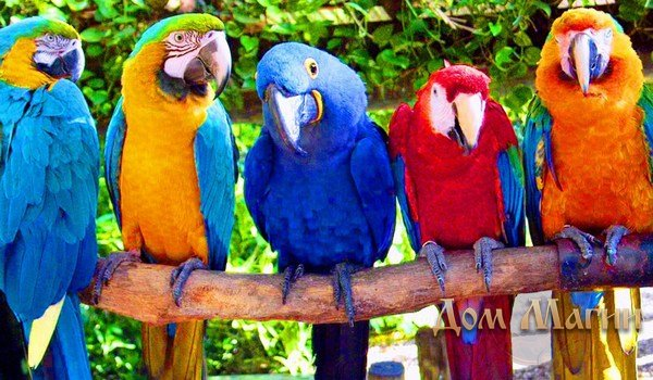 Сонник попугай к чему снится попугай во сне
