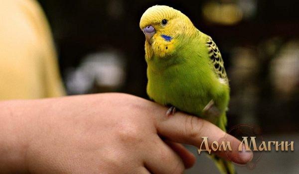 Поймать попугая - разгадка сна