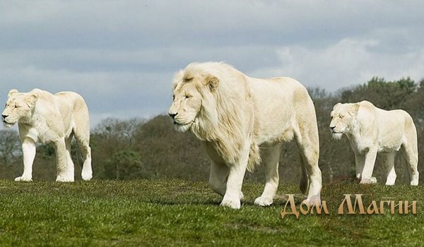 Белый лев – толкование сна
