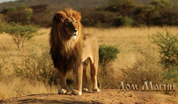 Кормить льва - сонник