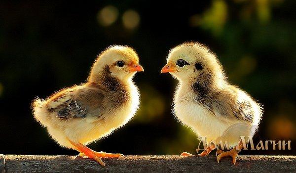 К чему снятся цыплята? Сонник – цыплята во сне