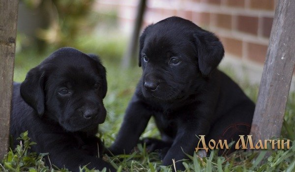 Черный щенок – толкование сна