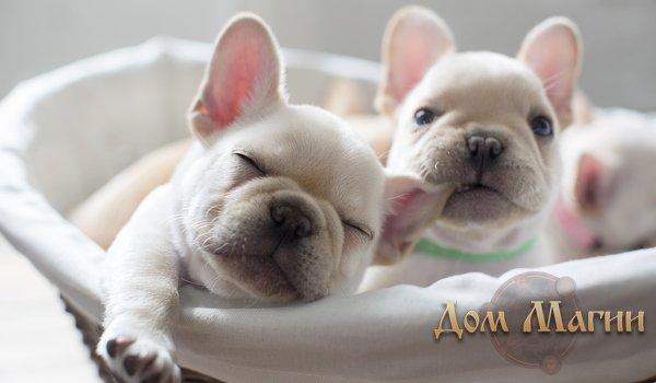 Породистые щенки - сонник