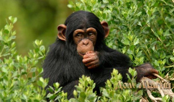 Сонник толкование снов к чему снится обезьяна
