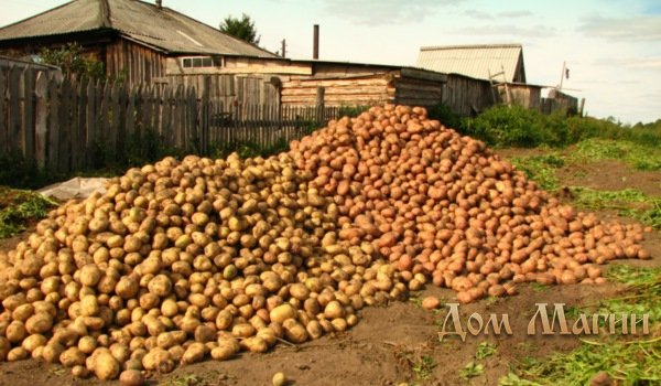 Большая куча картошки