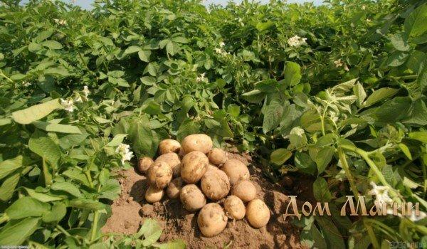 Копать картофель во сне