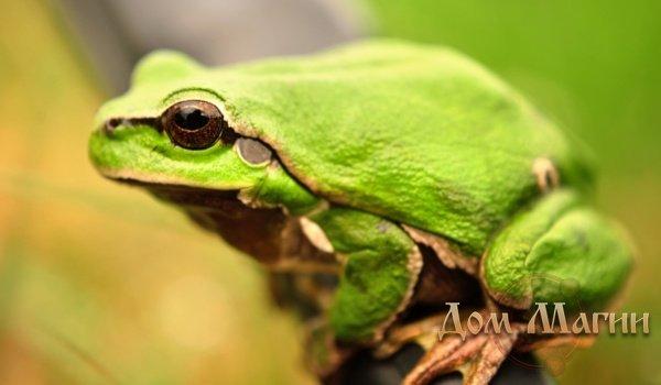 К чему снится зеленая жаба?