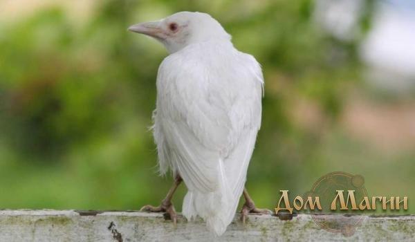 Белая ворона - сонник