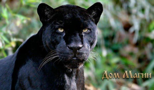 К чему снится пантера черная сонник