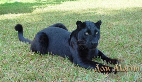 К чему снится черная пантера?