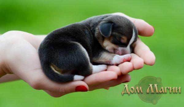 К чему снятся щенки - снятся маленькие щенки много сонник