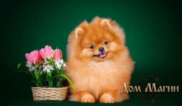 К чему снится маленькая рыжая собачка?