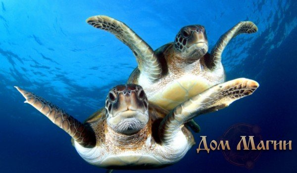 Приснилось плавание с черепахами